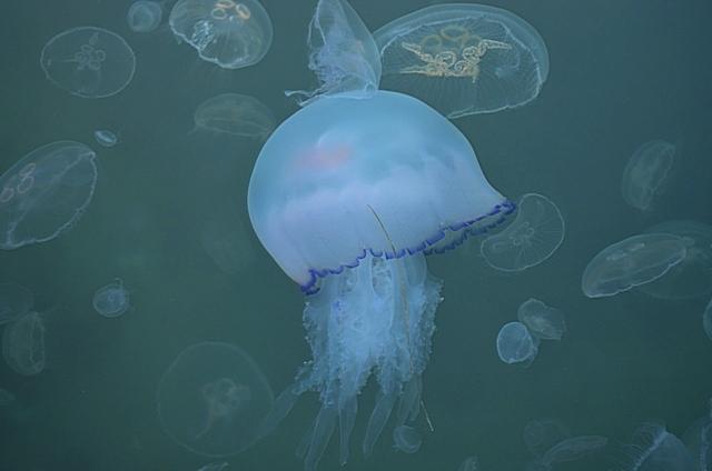 Медузы 4