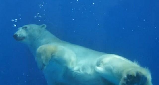 Белые медведи в Геленджике
