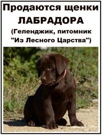 prodayutsya-shhenki-labradora